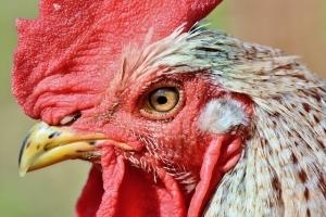 chicken thursday 1115