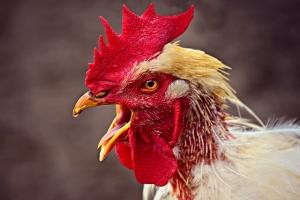 chicken thursday 1129