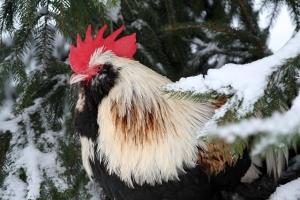 chicken thursday dec 13