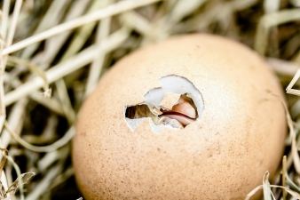 chicken thursday hatching