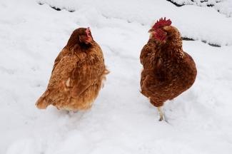 chicken thursday jan 31