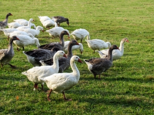 Pictures of geese