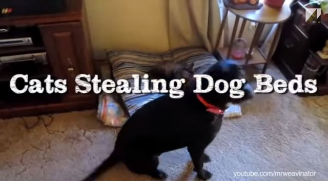 ss-cats-stealing-dogs-beds