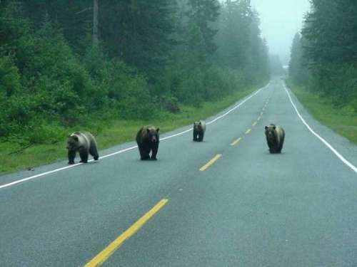 Funny Pictures of Bears On Road