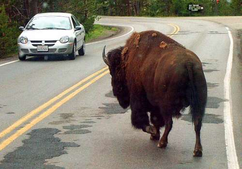 Funny Pictures of Car and Bison Facing Off