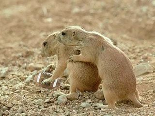 Funny Pictures of Prairie Dogs Playing Football