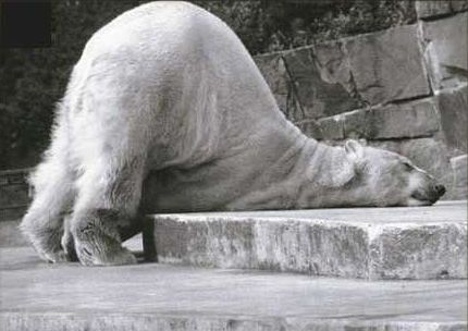 Funny Pictures of Polar Bear Sleeping On Face