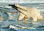 A Funny Polar Bears Pictures