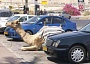 Funny Pictures of Camel Parked Wtih Cars