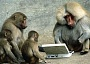 Funny Pictures of Monkeys with Laptop Computer