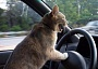 Funny Cat Pictures -  Driving Car