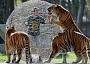 Funny Pictures of Tigers Rolling Cage