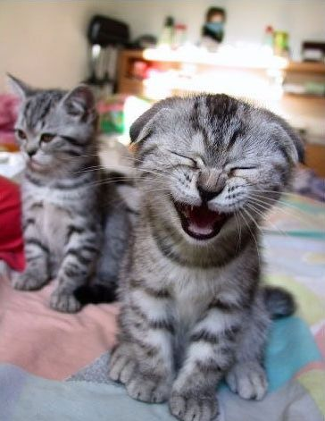 Funny Pictures of a laughing kitten.