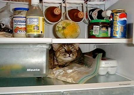 Funny Cat Pictures -  in Refrigerator
