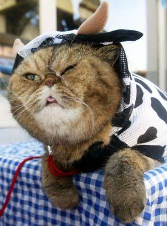 Funny Cat Pictures -  in Cow Costume