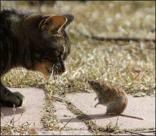 Funny Cat Pictures -  and Mouse Face to Face