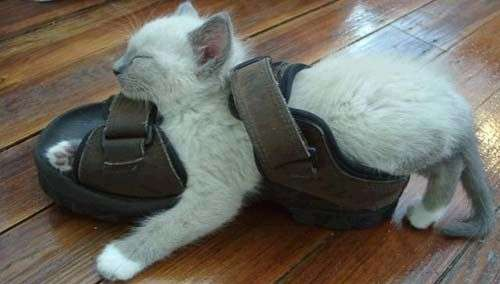 Funny Cat Pictures -  Sleeping In Shoe