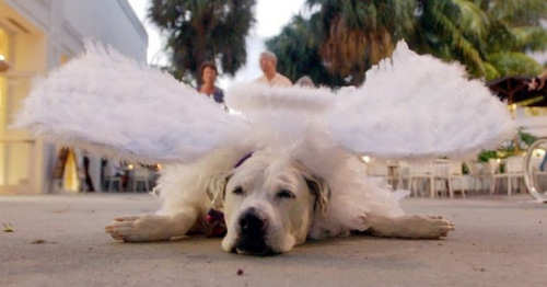 Funny Pictures of Dog Dressed Like Angel
