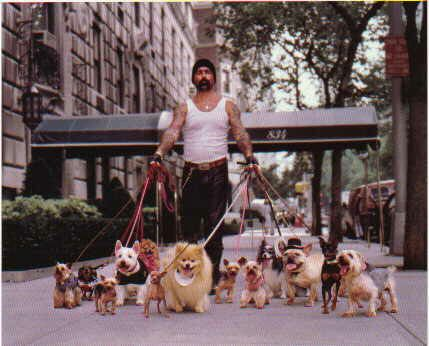 Funny Jokes Pictures of a Tatooed Man walking little dogs.