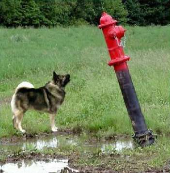 Funny Pictures of Dog Staring At Fire Hydrant