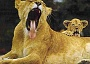 Funny Pictures of Lion Yawning
