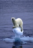 Funny Jokes Pictures of Polar Bear on Ice Flow
