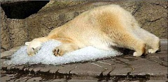 Funny Pictures of Polar Bear Snoozing On Ice