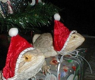 Funny Christmas picture of 2 iguanas wearing Santa Hats