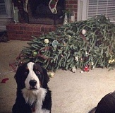 picture of guilty dog by christmas tree dog