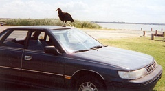 Funny Pictures of Turkey Buzzard on Car