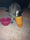 Cat Drinks from Glass instead of Bowl
