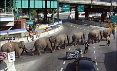 Funny Pictures of Elephant Traffic Jam