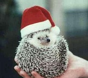 Funny Pictures of Hedge Hog Wearing Santa Hat