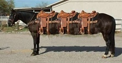 Funny Pictures of Three Saddled Stretch Limo Horse