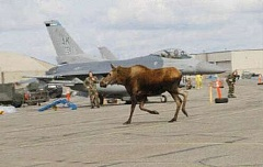 Funny Pictures of Moose By Fighter Jets