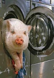 Funny Pictures of Pig in a Washing Machine