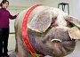 Funny Pictures of Giant Pig