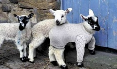 Funny Pictures of Lamb in Sweater