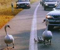 Funny Pictures of Geese Pulled Over By Police