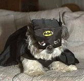 Funny Picture of Dog dressed in Batman costume, not Catwoman.
