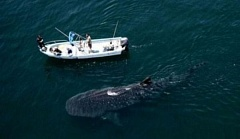 A funny picture of a basking shark next to a small boat.