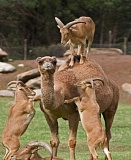A funny camel pictures