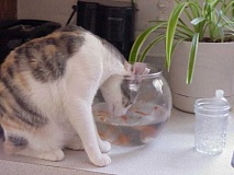 Funny Cat Pictures -  Looking in Fish Bowl