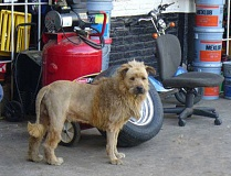 A dog with a Lion Haircut