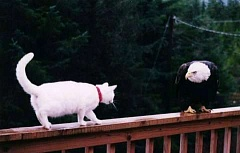 Funny Pictures of Wite Cat Staring Down Eagle