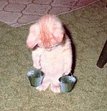 Funny Pictures of Kitten Carrying Water Buckets