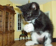 Funny Pictures of Giant Kitten in Dining Room