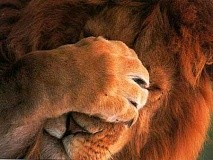 Funny Pictures of Lion Hiding Face