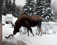 Funny Cat Pictures -  Kissing Moose