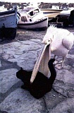Funny Pictures of Pelican Picking Up Black Cat